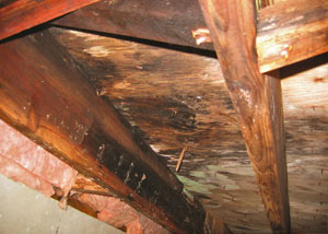 Extensive crawl space rot damage growing in New Minas