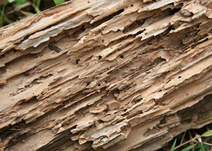 Termite-damaged wood showing rotting galleries outside of a Amherst home